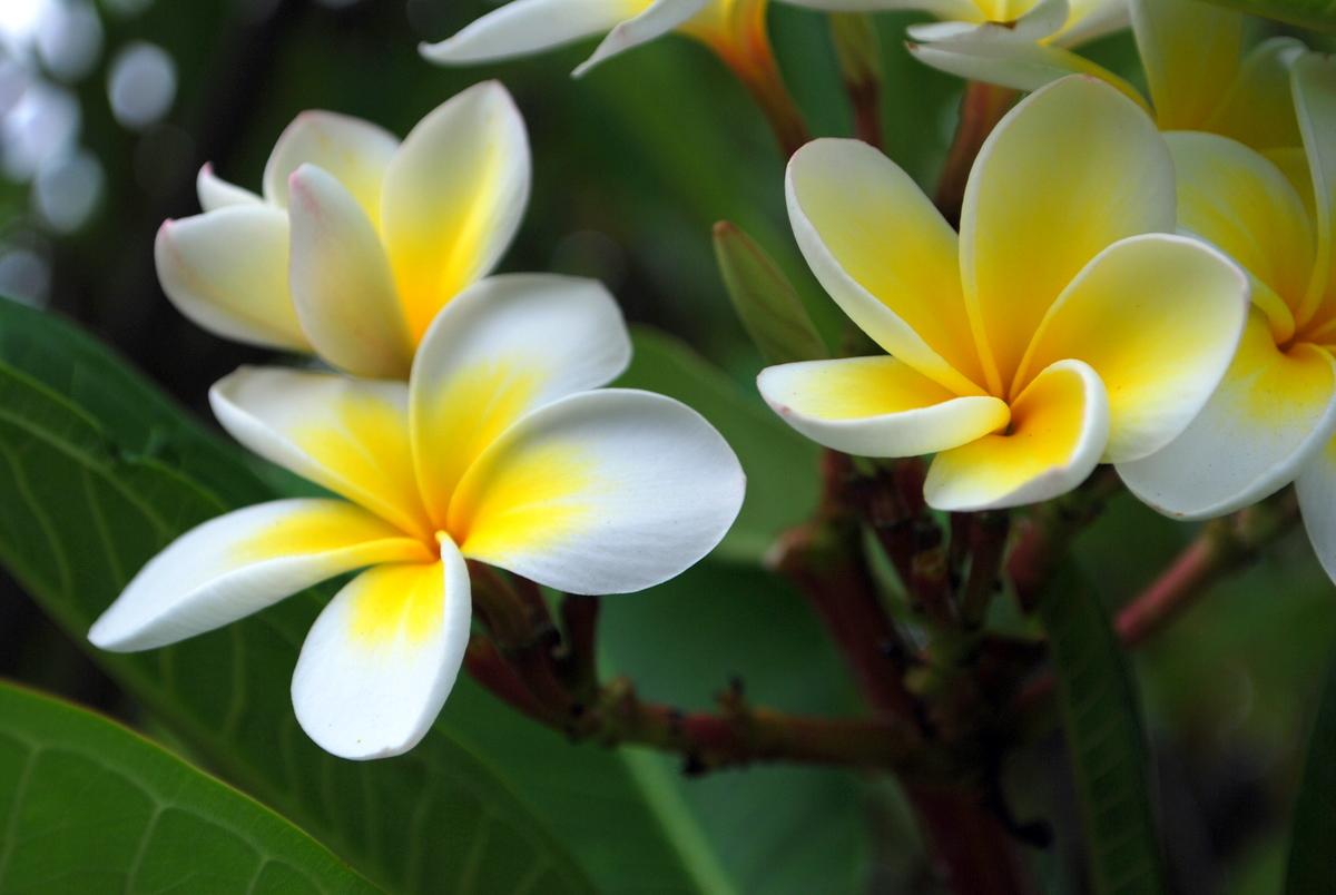 Frangipani_flowers